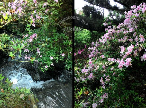 Taipei Life Azaleas  Yangmingshan Photography Romanticism 台北生活 杜鹃花 阳明山 风光摄影 浪漫主义 Yalan雅岚 黑摄会