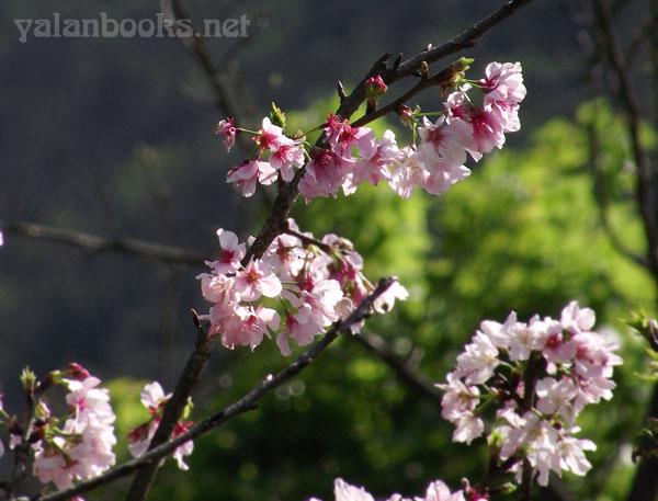 Taipei Life  Sakura Yangmingshan Photography Romanticism 台北生活  樱花 阳明山 风光摄影 浪漫主义 Yalan雅岚 黑摄会