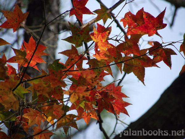 Taipei Life  Maple Shimen Reservoir Photography Romanticism 台北生活  枫叶 石门水库 风光摄影 浪漫主义 Yalan雅岚 黑摄会